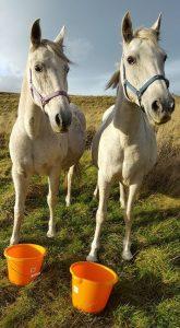 horses at feed buckets